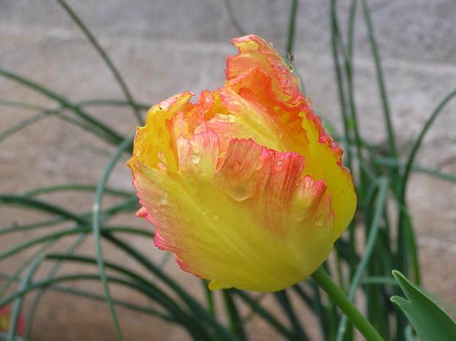 Tulipa 'Parrot Mix'