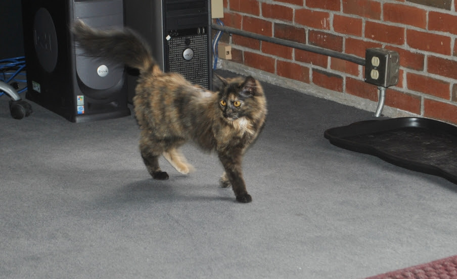 small tortie cat with tail up