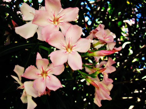 May 8, 2010: pink blossoms
