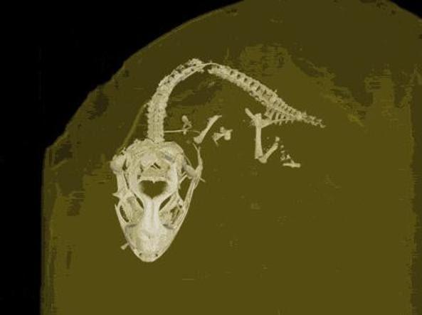 Ricostruzione tridimensionale dello scheletro (Kristen Grace/Florida Museum of Natural History