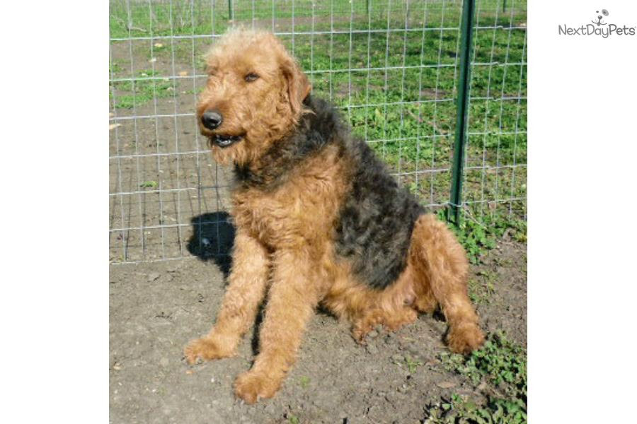 Airedale Terrier puppy for sale near Austin, Texas  567a23d6c0e1