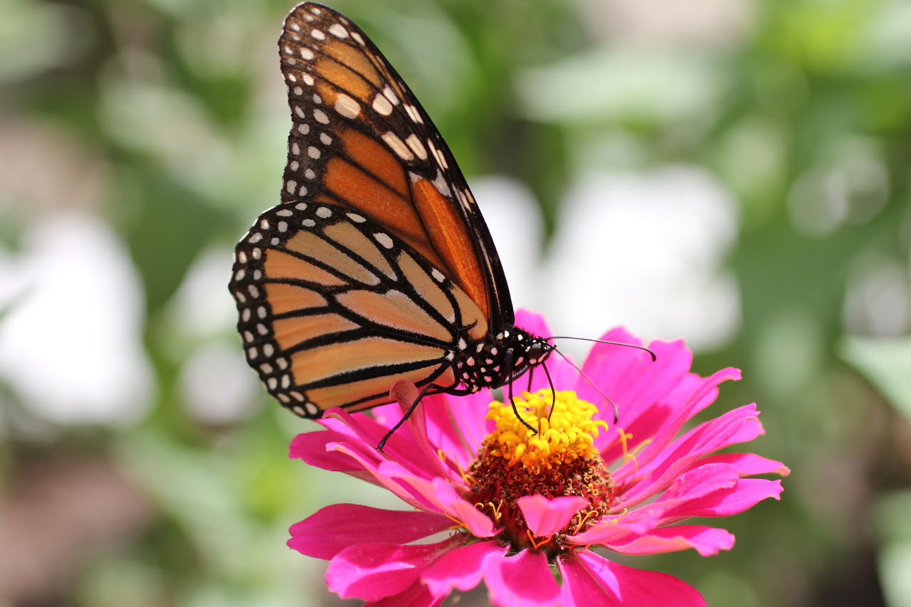 Monarch Butterfly on Zinnia Flower