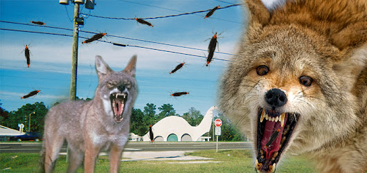 USF admits lovebug-eating coyote project has gone awry