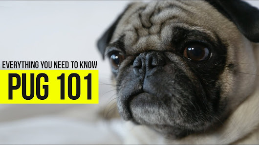 What you really need to know about pugs. - Talent Hounds