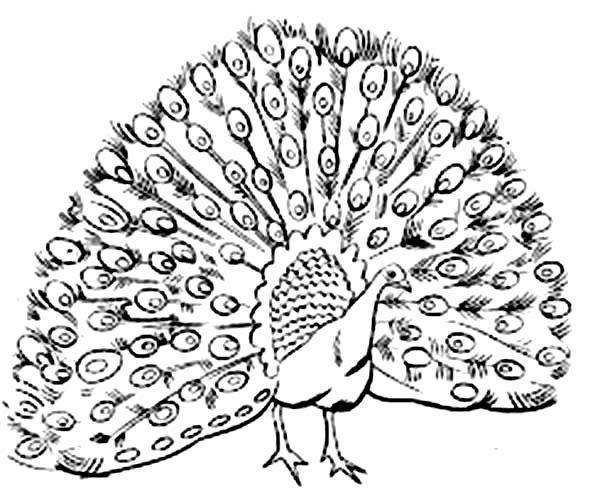 Dibujos De Pavos Reales Pavorealpedia