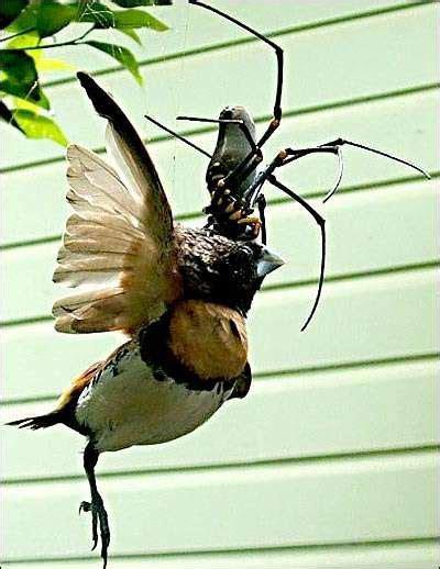 Golden Orb Spider Eating Bird