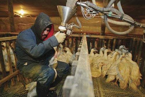 Foie gras feeding