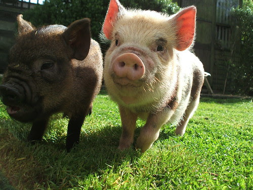vanessa and wilbur - pigs by Benstickley