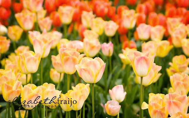 Tulips02W