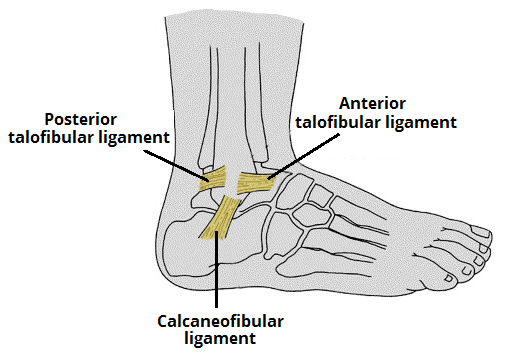 Ankle Joint Anatomy | Bone and Spine