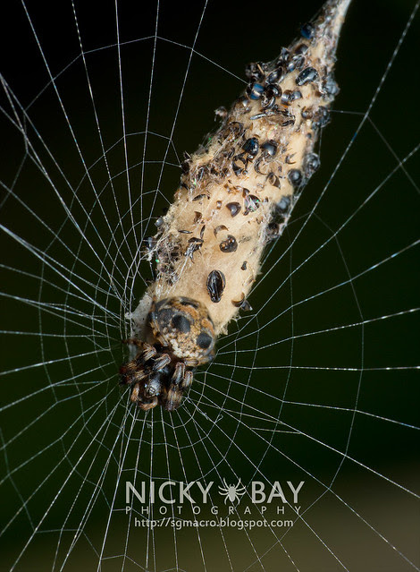 Orb Weaver Spider (Gea sp.) - DSC_7207