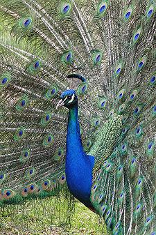 88  Gambar Burung Merak Di Wajah HD Terbaik Free
