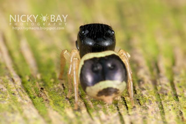 Jumping Spider (Pystira ephippigera) - DSC_9249