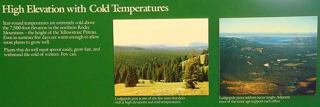 IMG_8635 Lodgepole Pine