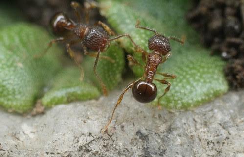 Pristomyrmex punctatus