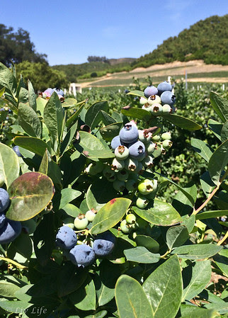 Fairfield Farms U-Pick Organic Blueberries, Pauma Valley, CA