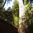 Hikerly — Armstrong Redwoods State Natural Reserve Loop -- 2.3 miles, 473 ft.Armstrong Redwoods Loop 2.3 miles - 473 ft.