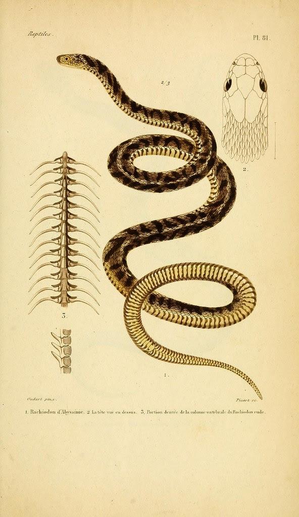 RAchiodon d'Abyssinie