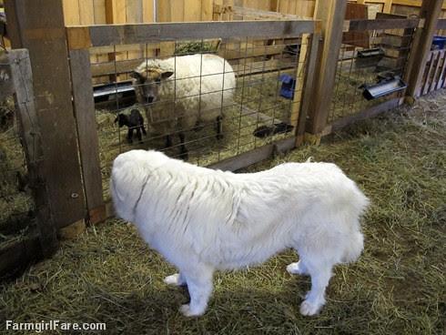 Lambing season begins! (7) - FarmgirlFare.com