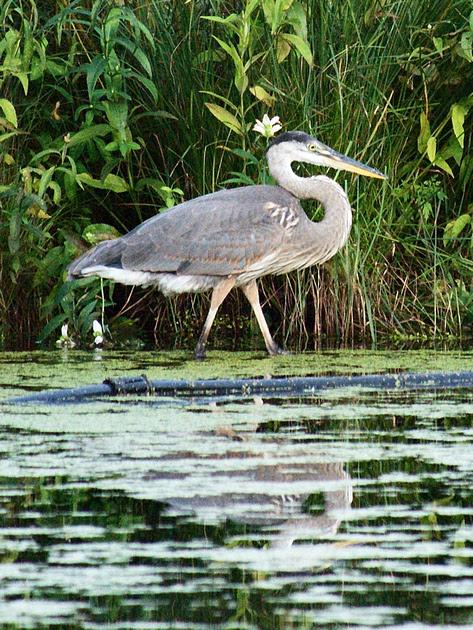 Ed Gaillard: recent &emdash; Great Blue Heron, Turtle Pond