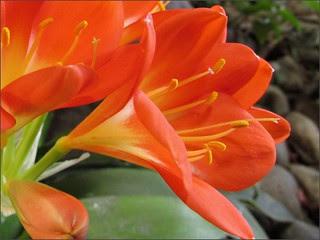 Orange bush lily 1