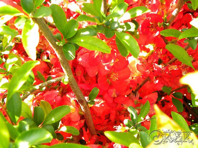 DSCN3273 Texas Quince blooms