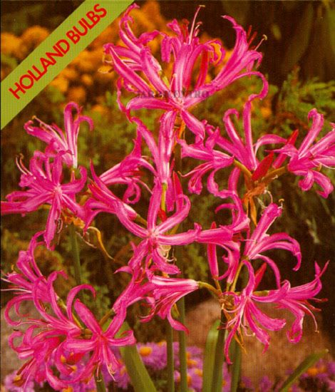 Nerine Rosa (Embalagem 1 Bolbo) - Out a Abr