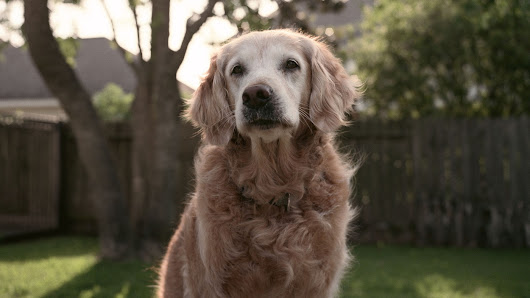 Last Known Sept. 11 Search Dog, Bretagne, Dies At 16