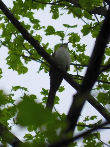 bb cuckoo