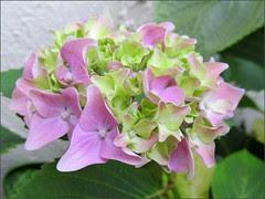 Somewhat pink hydrangea