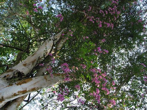 Bougainvilla on Eucalyptus