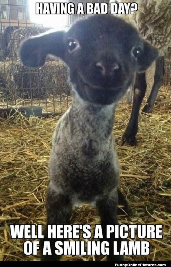 Smiling Lamb Funny Pic