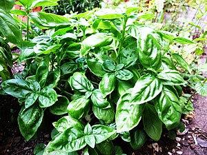 Basil Basilico Ocimum basilicum albahaca