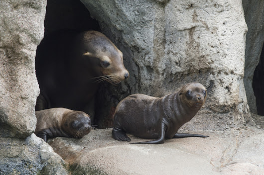 Sea Lion Double Trouble at WCS's Bronx Zoo