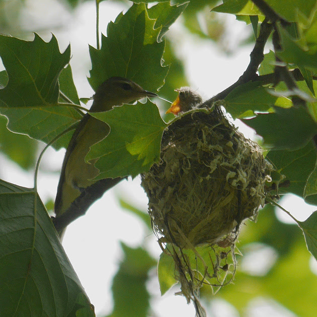 Ed Gaillard: birds &emdash; Warbling Vireo feeding nestling, Central Park