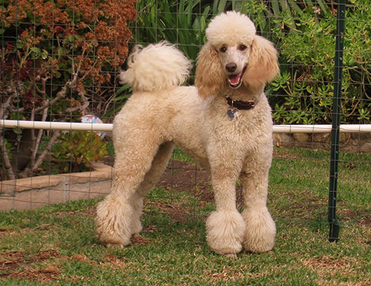 Miniature French Poodle Lifespan All Miniature