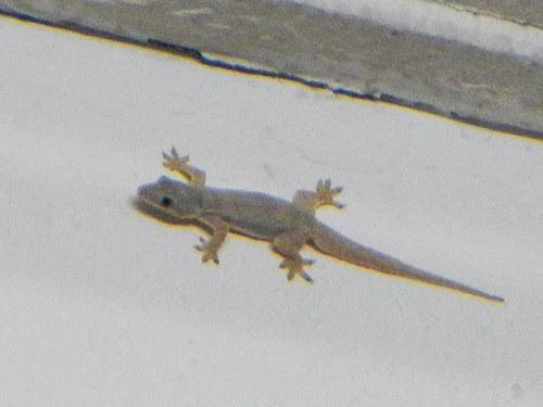 Lizards are common