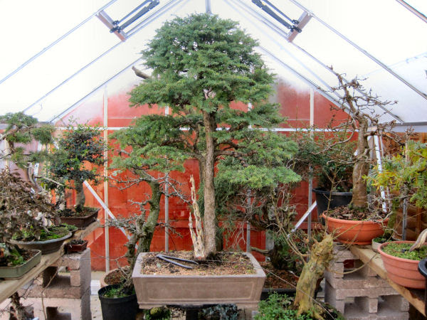 hemlock bonsai styling