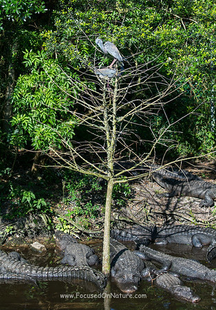 Tricolored Heron Nest Site