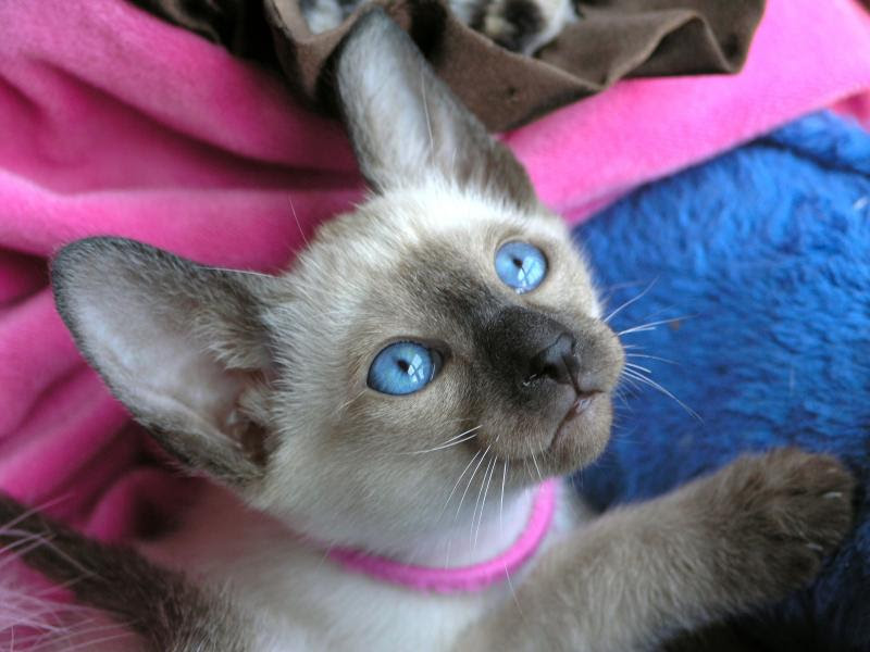 Balinese Cat For Sale Nc Bali Gates Of Heaven