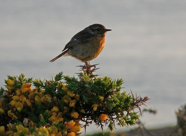 24437 - Stonechat, Rhossili, Gower