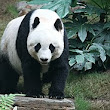 Giant panda - Wikipedia, the free encyclopedia
