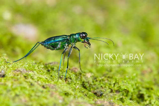 Tiger Beetle (Cicindelinae) - DSC_6399