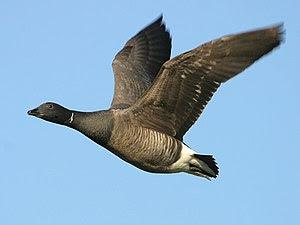 English: Image shows a Brent Goose (Branta ber...