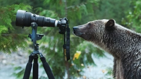 Grizzly bear gets behind photographer Jim Lawrence's lens