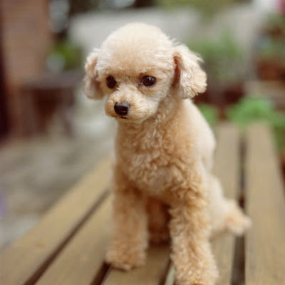 15 Hypoallergenic Dogs and Cats