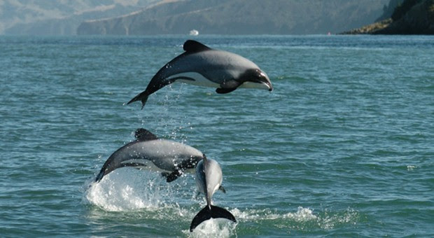 Image result for hector dolphin