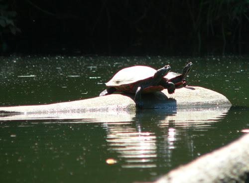 Turtles - Blackwater