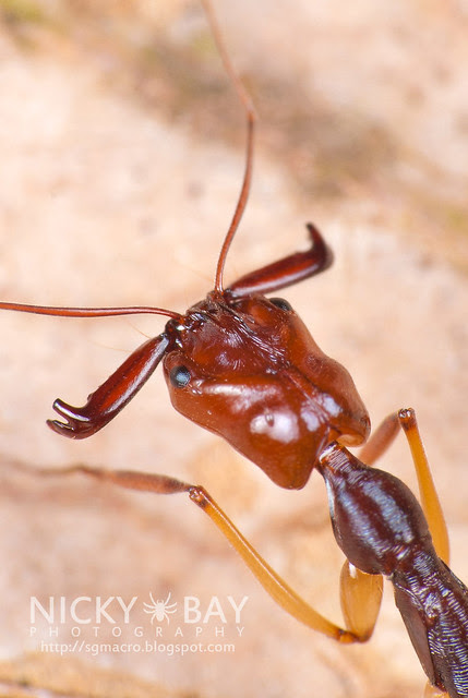 Trap Jaw Ant (Odontomachus sp.) - DSC_3195