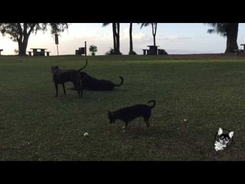 Puppy loves tennis ball: Video of the Day
